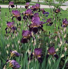 3X Purple Iris Mme Henri Cayeux Historic Tall Bearded (Tb) - Lot 3 Rhizomes
