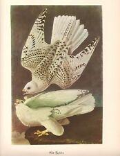 Gyrfalcon Art Print by John James Audubon