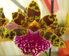 OoN Zygopetalum LOC-01 Npp Mem Jimmy Lyttle x Kiwi Choice Florafest Orchid 68mmP