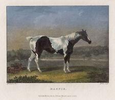 Magpie ORIGINAL Stahlstich 1824 koloriert Pferd Horse Mustang Geflecktes