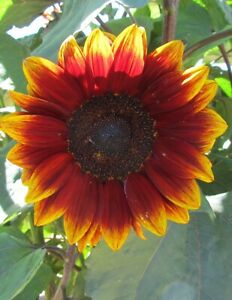 Sunflower 🌻(Red Velvet) 😊 10+ seeds. Comes With Care Instructions. Heirloom X