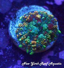 New York Reef Aquatic - 0916 H4 Picasso Mushroom Wysiwyg Live Coral