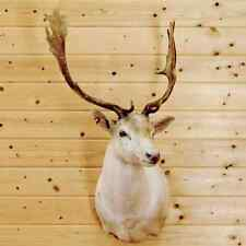 White Fallow Deer Taxider 00004000 my Mount - Sw4893