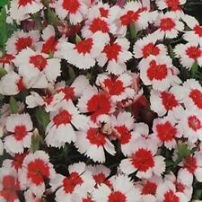 Dianthus- Merry go Round- 50  Seeds- BOGO 50% off SALE