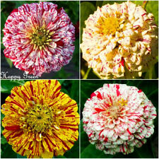 ZINNIA DAHLIA - PEPPERMINT STICK - 100 SEEDS - Zinnia elegans - Pumila flowered