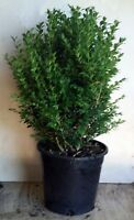 ENGLISH BOX HEDGE PLANTS IN 250mm (10 inch) POTS