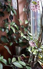 Hoya  - Wachsblume - Porzellanblume Zimmerpflanze, Ableger 3 St. unbewurzelt, h