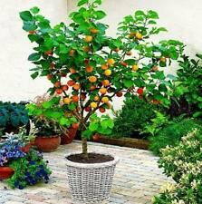 2 X fruit TREES* A plum tree and an Apple tree! -ideal for patio! ( pot grown)!