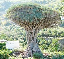 Canarian Dragon Tree - DRACAENA DRACO - 6 Fresh Seeds - Exotic
