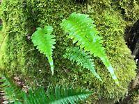 Licorice Fern Live Plant
