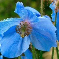 BLUE HIMALAYAN POPPY Tibetan Meconopsis Betonicifolia Flower Seeds Gift