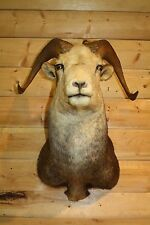 Shoulder Mount Stone Sheep Bighorn Dahl Taxidermy Real Horn Skull BS2