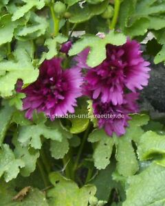 "Violett-blaue Stockrose (Alcea rosea ""Chaters Violett"") Pflanze im 9x9cmTopf"