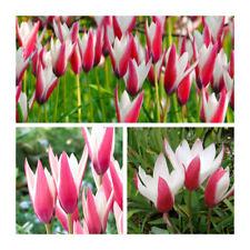 Peppermint Stick Hybrid Species Tulip x 30 Bulbs Rare Cerise & White