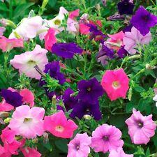 Fleur-Petunia-Double Pirouette Orchid Mist 600 graines enrobées-en vrac