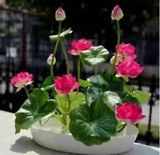 6 Color Mix lotus seeds Flower Plant Water Lily Bowl