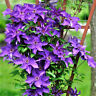 """Plant The President Clematis Vine Deep Purple 2.5"""" Pot Live Garden Plant Vine"""