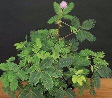 """'SENSITIVE PLANT' MIMOSA PUDICA - 2 1/4"""" POT - ESTABLISHED PLANT"""