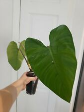 """Philodendron erubescens Blushing Red stem Climbing Plant 12"""" Tall 22"""" Wide"""