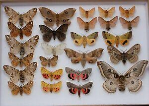 Stunning box of mixed European moths