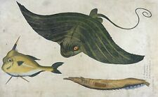 1686 Willoughby & Ray - SEA EAGLE Pentopthalmos - fine folio copper engraving