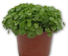 Heirloom UPLAND CRESS❋5000 SEEDS❋Winter English Cress❋Creasy Greens❋Nutritional
