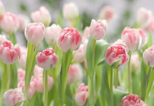 Large scale over size Flowers Tulips Floral  Photo Wallpaper Wall Mural