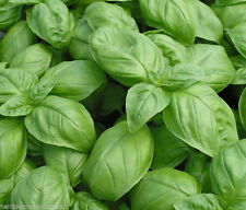 1,500 Genovese Large leaved SWEET Basil seeds HEIRLOOM. ***SAME DAY SHIPPING***