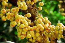 *UNCLE CHAN*12 seeds sweet Burmese grape fruit rare Baccaurea ramiflora tropical