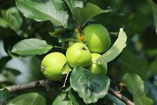 Tropical Assam Apple abundant fruit production white blooms Docynia indica