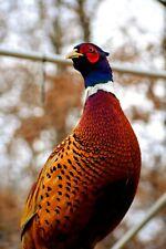 10+ Ringneck Pheasant Hatching Eggs