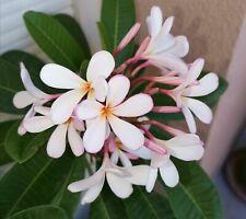 Pianta adulta radicata di Pomelia/Plumeria/Frangipani pink (rosa) profumata