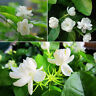 20Pcs Pure White Jasmine Plant Seeds Perennial Flowers Seeds Home Garden Decor