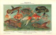 AQUARIUM Ausländische Zierfische Makropode Schleierschwanz  Lithographie 1900