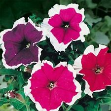 Petunia-Picotee Mix- 100 Seeds