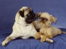 Pet Notecards:Dog Pug & Brussels Griffon Kisses