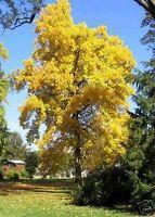 wunderschöner Baum mit TULPENÄHNLICHEN BLÜTEN; stark !