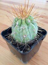 Copiapoa Calderana - Beautiful Rare Cactus - Indoor Outdoor Plant - Succulent