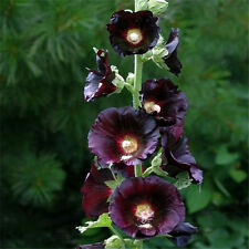 20 Black Nigra Hollyhock Seeds Special DIY Home Garden Flower Plant TT103