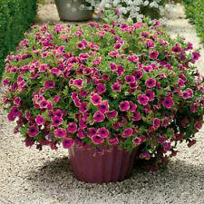 200 Seeds Rare Petunia Flower Climbing Bonsai Perennial Plant Home Garden Decor
