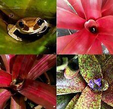 BROMELIAD Neoregelia Terrarium Vivarium Dart Frog Wholesale 6 Pack 3 Varieties