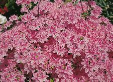 Zwergazalee Kermesina Rose 15-20cm Rhododendron obtusum Frühlingsblüher