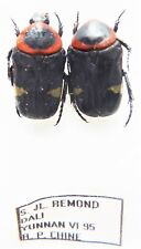 Cetoniidae ssp  (2 ex A1) from CHINA (Cetoniidae)