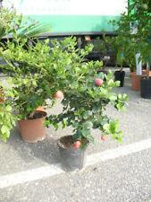 Carissa grandiflora, essbare Früchte, Natal Pflaume,