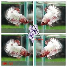 [110_A3]Live Betta Fish High Quality Male Red FCCP Plakat 📸Video Included📸
