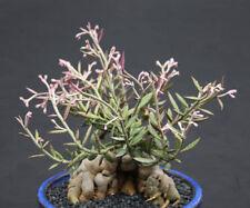 Monadenium rubellum caudex  bonsai cactus seed 10 seeds