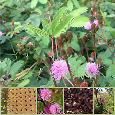 "950+ Mimosa pudica Seeds - ""sensitive plant, touch-me-not"" - easy to grow"