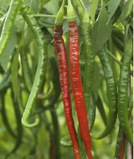 Strong Heat Large Chilli Chili 50 SEEDS ORGANIC BIO for UK EUROPE COLD CLIMATE