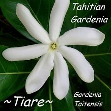 ~TIARE~ Gardenia taitensis QUEEN of TAHITIAN FLOWERS Live sml potted Plant