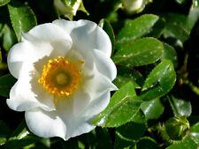 "!Four! 8"" Fresh Cuttings Cherokee Rose (Rosa laevigata) Ships Free"